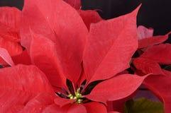 Christmas decorations. Poinsettia plant Stock Photo