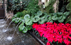 Christmas decorations in the greenhouses of Longwood Gardens. Small fountain, large green leaves and red Christmas flowers royalty free stock photo