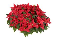 Christmas Decorations - Red Poinsettia. On white background Royalty Free Stock Images