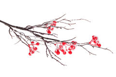 Christmas decorative snow branch with holly berry Stock Image