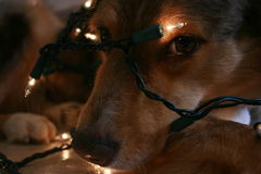 Christmas Dog. A dog wrapped in Christmas lights Stock Images