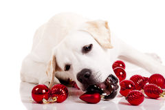 Christmas Dog Royalty Free Stock Photography