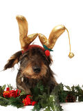 Christmas Dog. Photograph of a daschund wearing christmas antlers,shot in studio against a white background Stock Photography