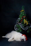 Christmas dog. Santa-dog samoed laying under christmas tree Stock Photography