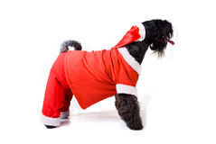 Christmas dog. Santa-dog Terrier on white background Royalty Free Stock Photography