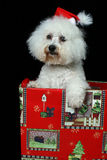 Christmas dog. A fuzzy faced cute dog wearing a Christmas cap and coming out of a gift box Royalty Free Stock Image