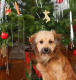 Christmas dog. Sweet dog sitting in front of a Christmas tree Royalty Free Stock Images