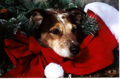 Christmas Dog. Blue heeler/australian shepherd, Christmas portrait Stock Photography