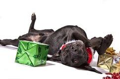 Christmas Dog. Black Lab type dog playfully posing with Christmas presents stock photography
