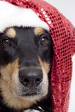 Christmas dog. Patient christmas pooch (see series Royalty Free Stock Photography