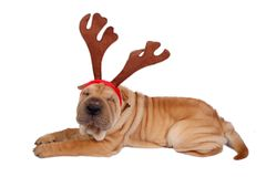 Christmas dog. A shairpei dog wearing christmas antler Stock Photos
