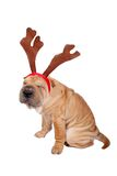 Christmas dog. A christmas sharpei dog wearing antler Stock Photos