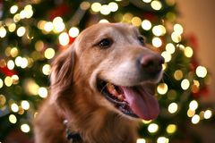 christmas dog Στοκ φωτογραφία με δικαίωμα ελεύθερης χρήσης