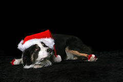 Christmas Dog. A cute Border Collie dog wearing a Christmas hat, isolated on a black background Royalty Free Stock Photo