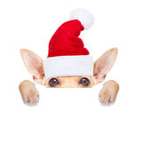 Christmas dog as  santa claus. Chihuahua santa claus dog hiding behind a blank empty placard or banner,  for christmas , isolated on white background Royalty Free Stock Photos