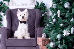Christmas Dog as symbol of new year. West highland white terrier dog as symbol of 2018 New Year with black bow tie sitting on sofa and Royalty Free Stock Photos