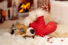 Christmas, dog Australian Shepherd lies idyllically in front of royalty free stock photography