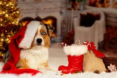 Christmas, dog Australian Shepherd lies idyllically in front of royalty free stock photo
