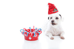 Christmas dog and bowl. White dog wearing a Christmas santa hat lying beside a red dog bowl with candycanes. With space for copy.  White background Royalty Free Stock Photography