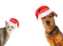 Christmas Dog and Cat With Copy Space. An adult large breed dog and a silver cat wearing santa hats coming into the sides of an image with room for text Royalty Free Stock Photography