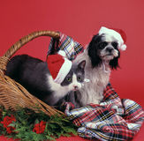 Christmas dog and cat. A dog and a cat wearing a little christmas woolen hat standing in a basket covered with a scottish plaid and some decoration in the Stock Image