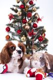Christmas dog celebrate christmas with tree on studio. Christmas bauble ornaments glass balls and cavalier king charles stock photo