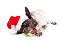 Christmas Dog Chewing on Tennis Ball Stock Photo