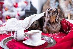 Christmas dog dachshund. Christmas morning and coffee cup, next to the sofa is a dog Royalty Free Stock Photography