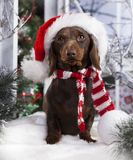 Christmas dog. Dachshund in Santa Hat, New Year`s puppy, Christmas dog Stock Photo
