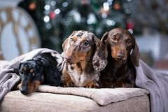 Christmas dog dachshund under a warm blanket. New Year`s puppy, Christmas dog dachshund Royalty Free Stock Images