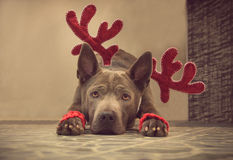 Christmas dog deer liying and watching to us Royalty Free Stock Images