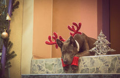 Christmas dog deer liying and watching to us Stock Photo