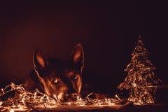 Christmas dog deer liying and watching to us Stock Photography