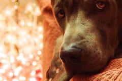 Christmas dog deer liying and watching to us Royalty Free Stock Image