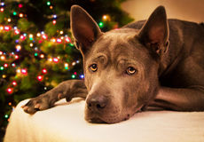 Christmas dog deer liying and watching to us Royalty Free Stock Photos