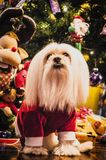 Christmas dog. Dog dressed in a Christmas outfit Royalty Free Stock Photos