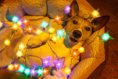 Christmas dog with fairy lights Stock Photo