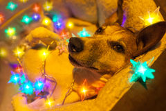 Christmas dog with fairy lights Royalty Free Stock Photo