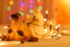 Christmas dog with fairy lights. Jack russell dog resting and enjoying this christmas holidays with fancy fairy lights and looking cute at you low light photo royalty free stock photos