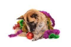 Christmas dog, funny expression royalty free stock image