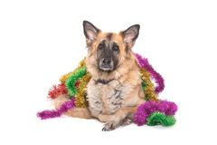 Christmas dog, funny expression stock photography