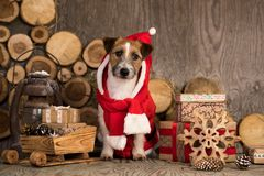 Christmas dog in gnome costume, royalty free stock images