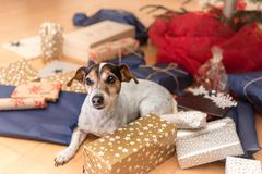 Christmas dog - Jack Russell Terrier stock images