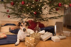 Christmas dog - Jack Russell Terrier royalty free stock images