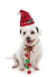 Christmas dog with jingle bells. Christmas pooch wearing a santa hat and red and green jingle bells attached to festive ribbon around neck.  White background Royalty Free Stock Photo