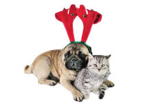 Christmas dog and kitten. Christmas Pug dog wearing antler and British Shorthair kitten with Christmas ornaments Royalty Free Stock Image