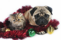 Christmas dog and kitten. Pug dog with little Persian kitten,surrounded by Christmas ornaments Stock Photography