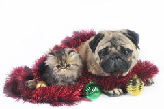 Christmas dog and kittens. Pug dog with little Persian kitten,surrounded by Christmas ornaments Royalty Free Stock Image