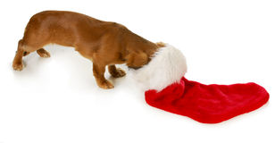 Curious christmas puppy Royalty Free Stock Photography