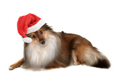 Christmas dog portrait Stock Image